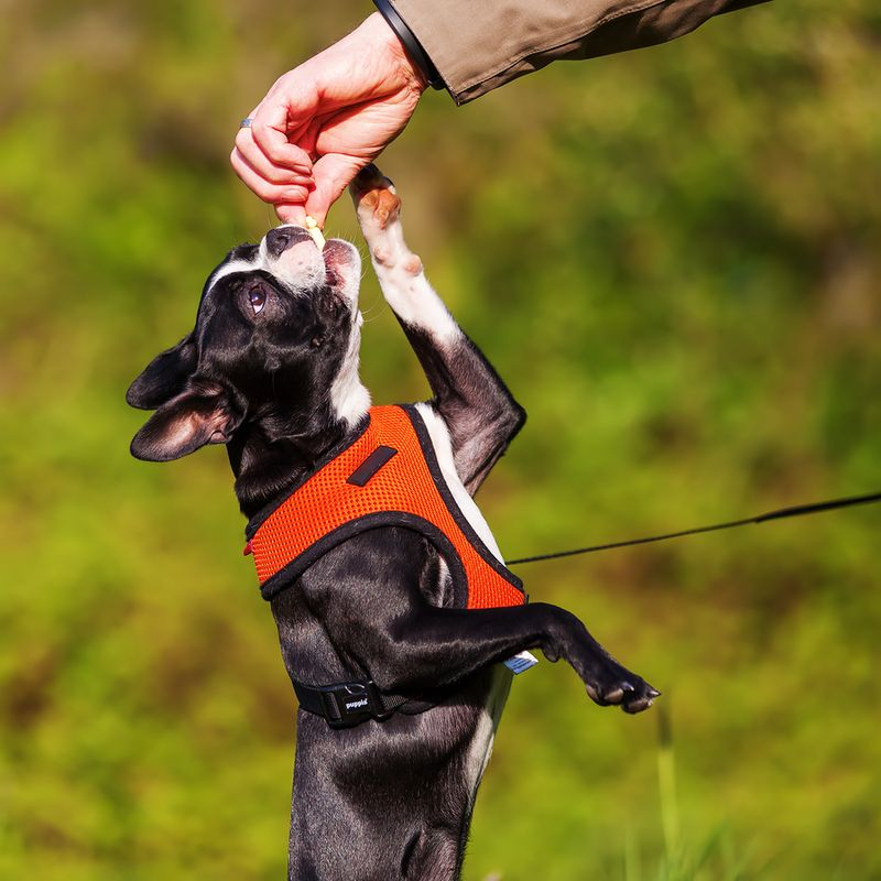 boston terrier leash training