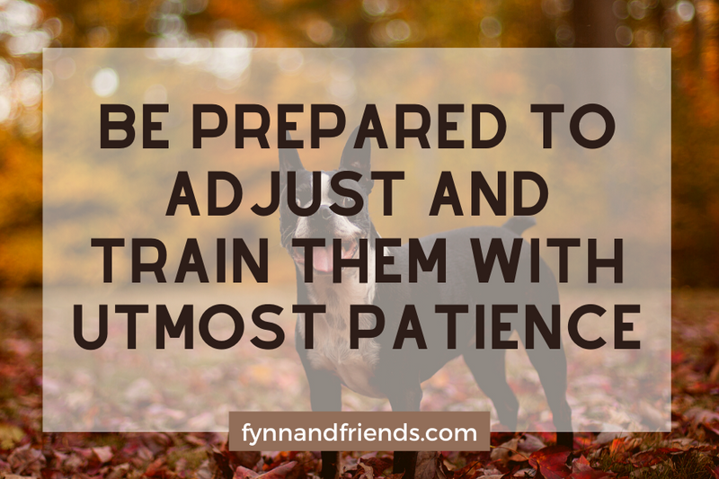 Be prepared to adjust and train them with utmost patiencewith boston terrier standing and autumn leaves in the background