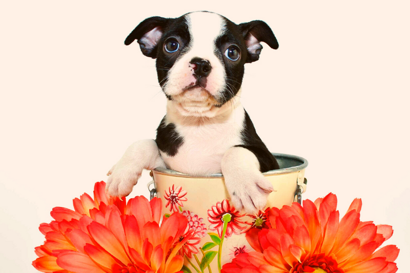 Boston terrier puppy in basket with dahlias