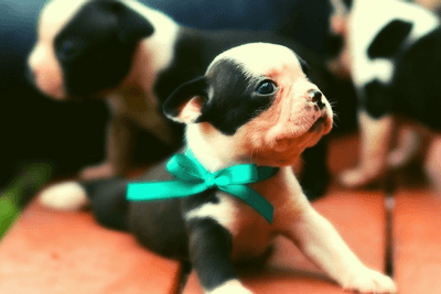 Boston Terrier puppies with blue ribbon