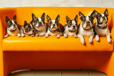 all small dog breeds of Boston Terrier