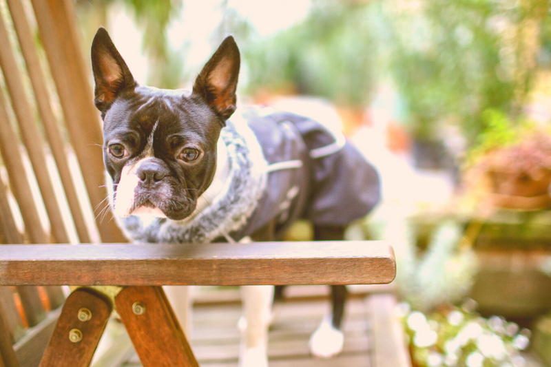 Boston Terrier in winter clothes