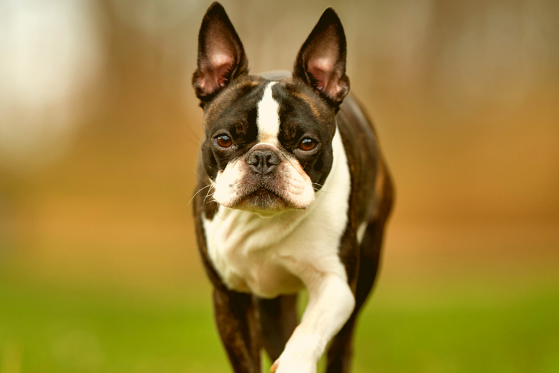 Bo-Jack Guide: The Boston Terrierr Jack Russell Mix