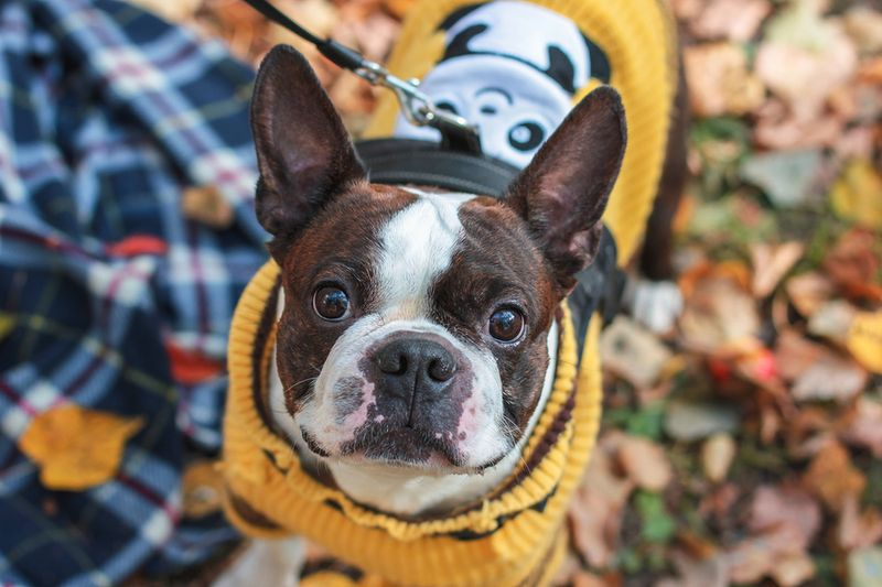 Playing Dress Up: How to Teach Your Boston Terrier to Enjoy Wearing Tiny Dog Clothes