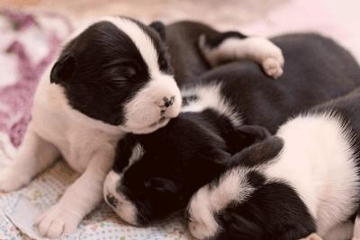 Boston Terrier puppies sleeping
