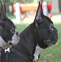 Should I Get a Boston Terrier?