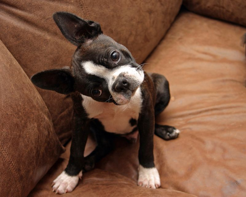 Training Your Boston Terrier