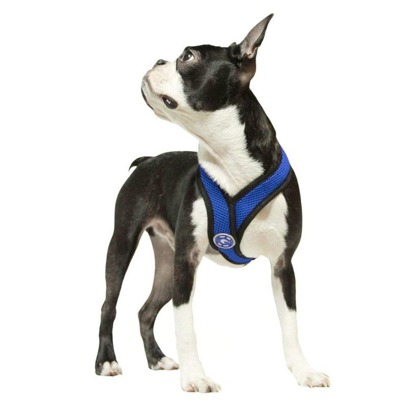 boston_terrier_with_harness