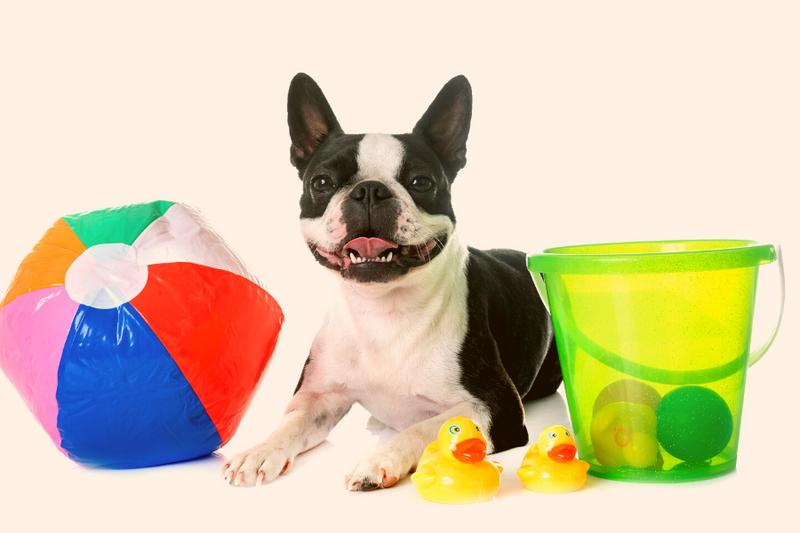 Boston Terrier with toys