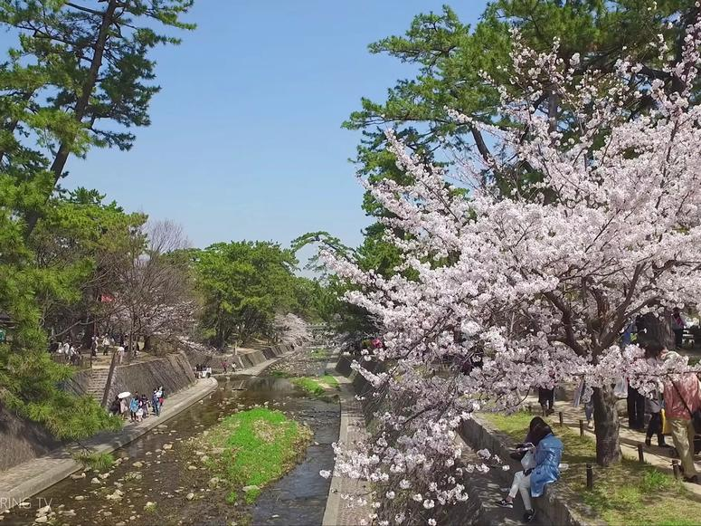 A sunny park in Japan with blooming cherry blossom trees