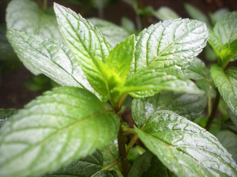 A closeup photo of a green peppermint stalk.
