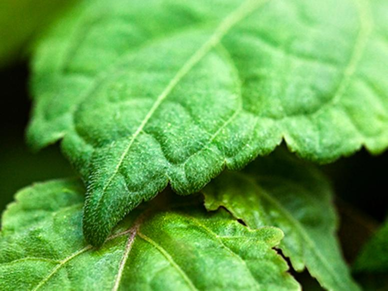 A closeup of two green leaves.