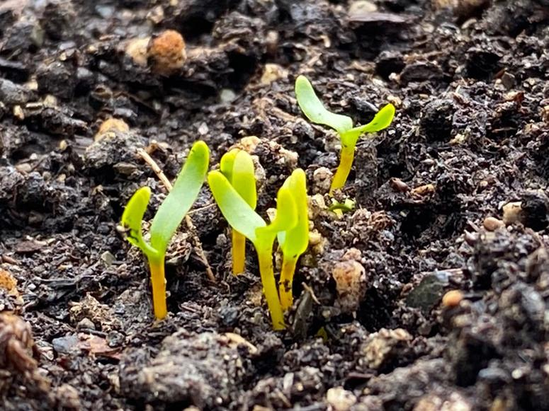 Small green sprouts emerging from wet soil.
