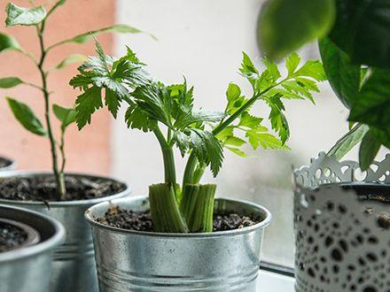 Green celery growing in a metal pail.