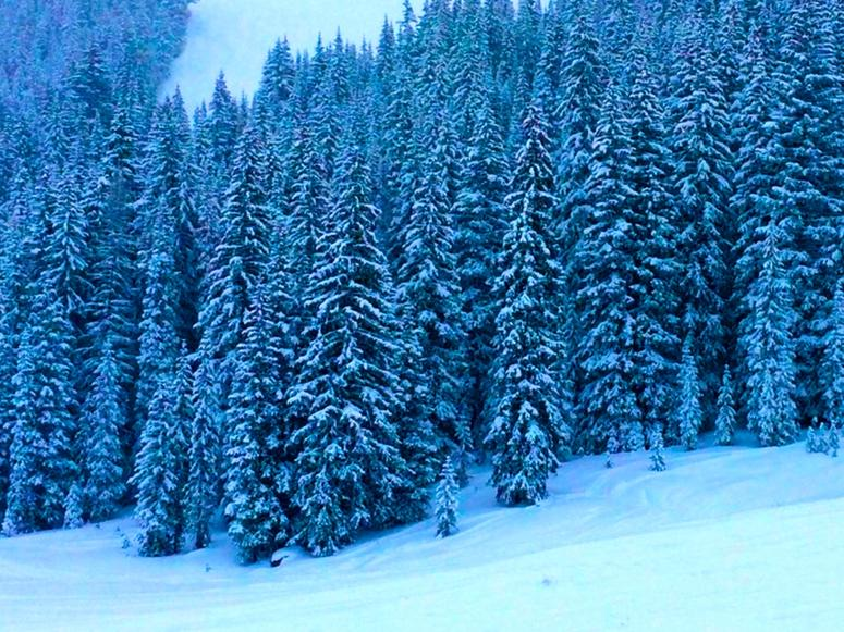 A forest of pine trees in the snow on a mountain.