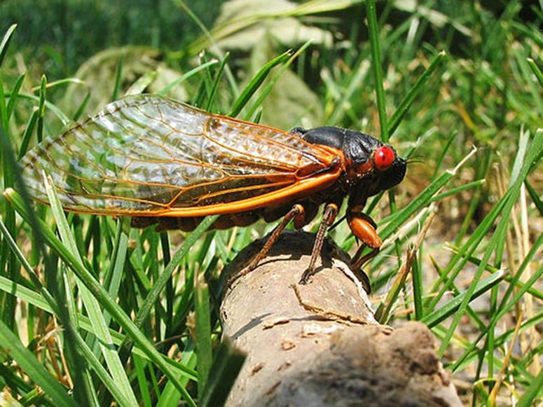 A Brood X cicada on a log, surrounded by grass.