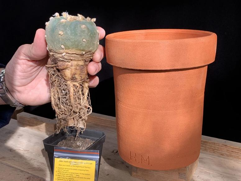 A hand holding a small button cactus next to a pot.