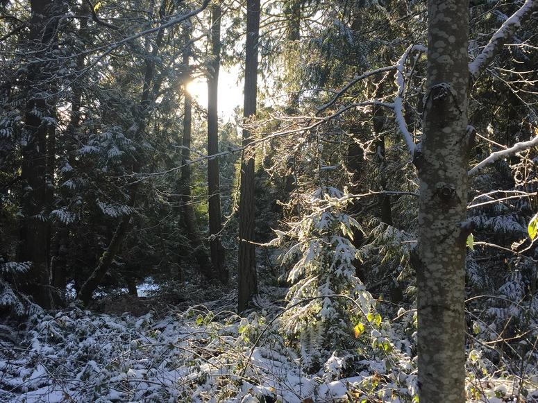 A forest in winter, with snow in evergreen branches and bushes.