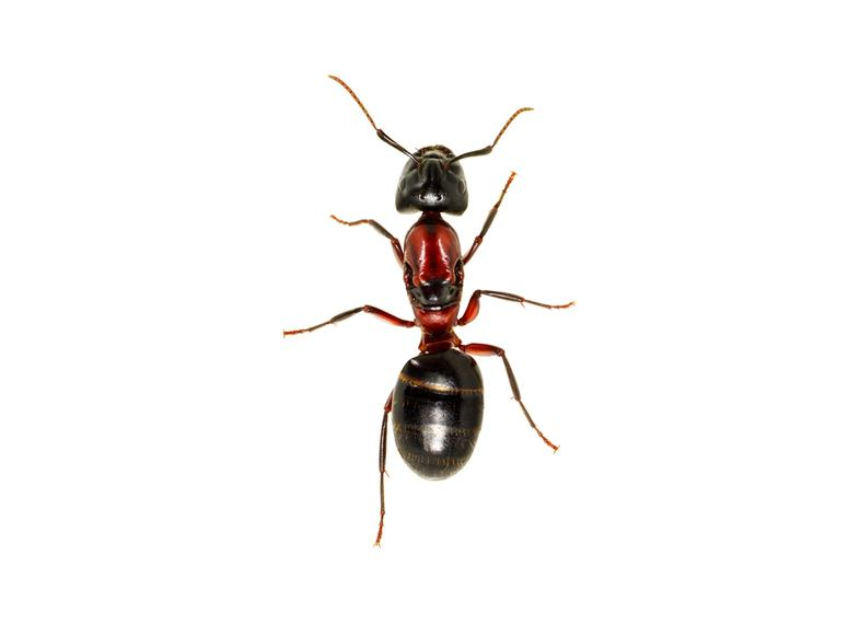 A brown ant on a white background
