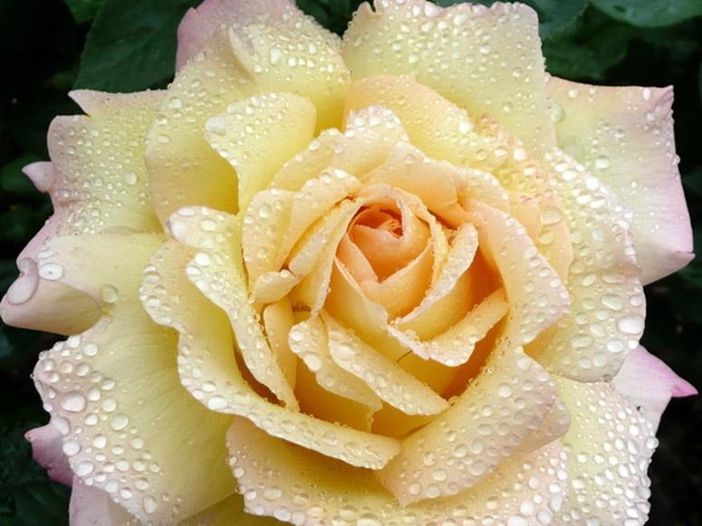 A dew-covered white and pink rose.