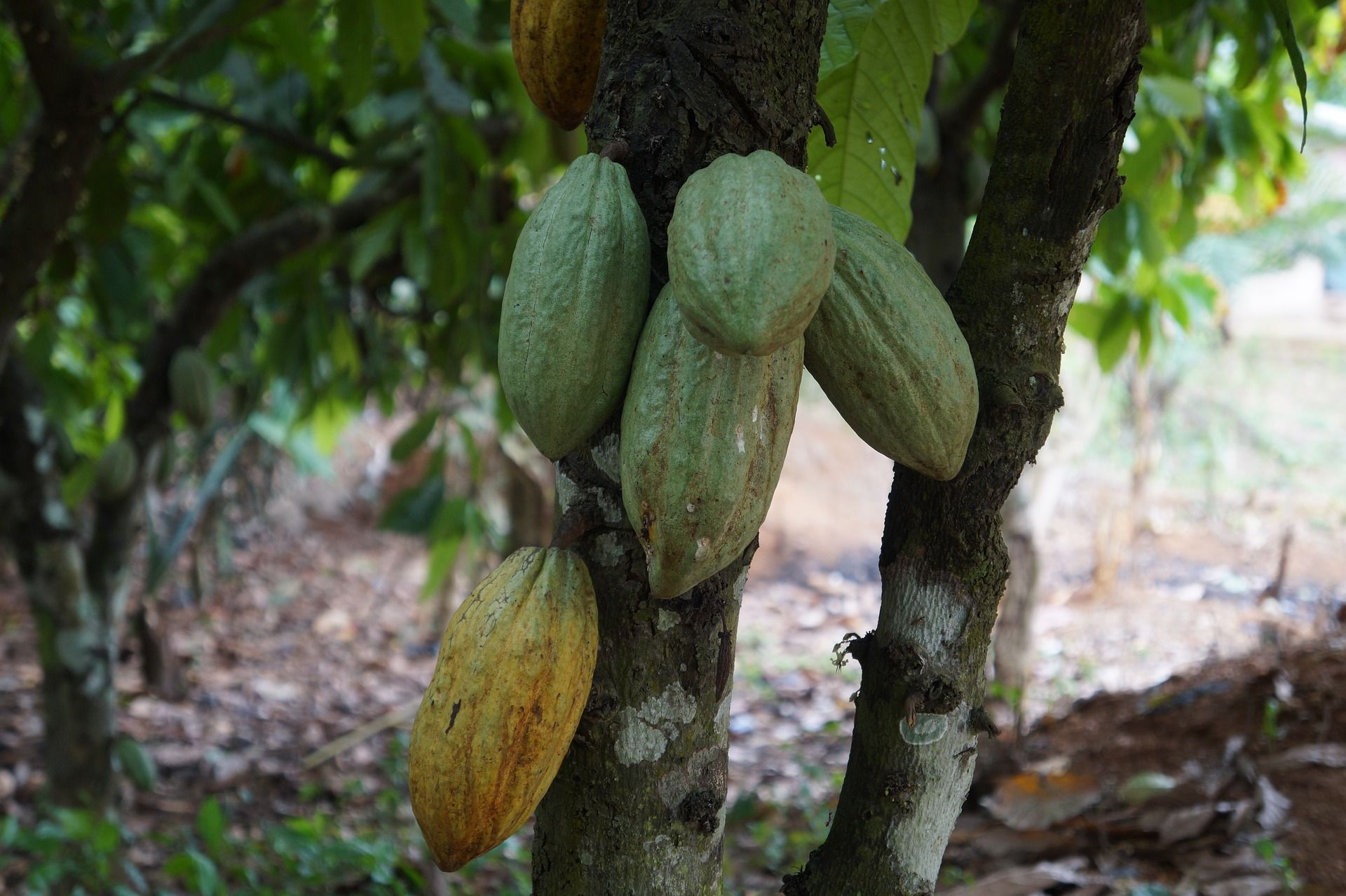 Cocoa pods in Ghana