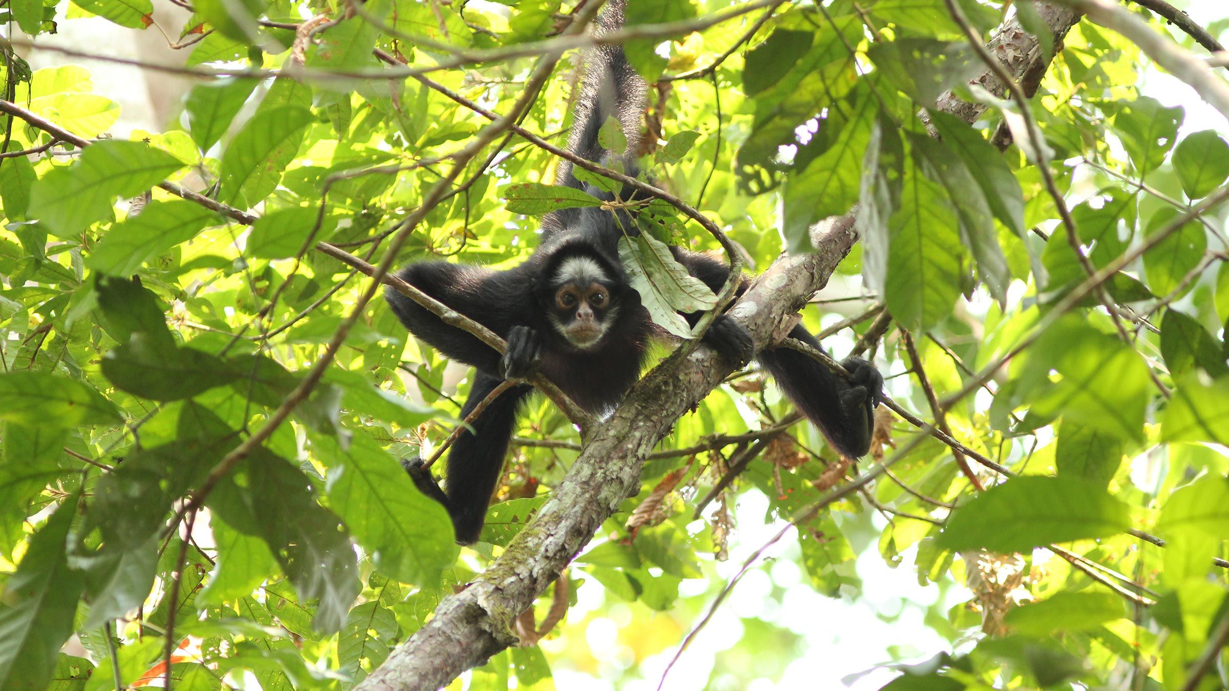 White-cheeked spider monkey
