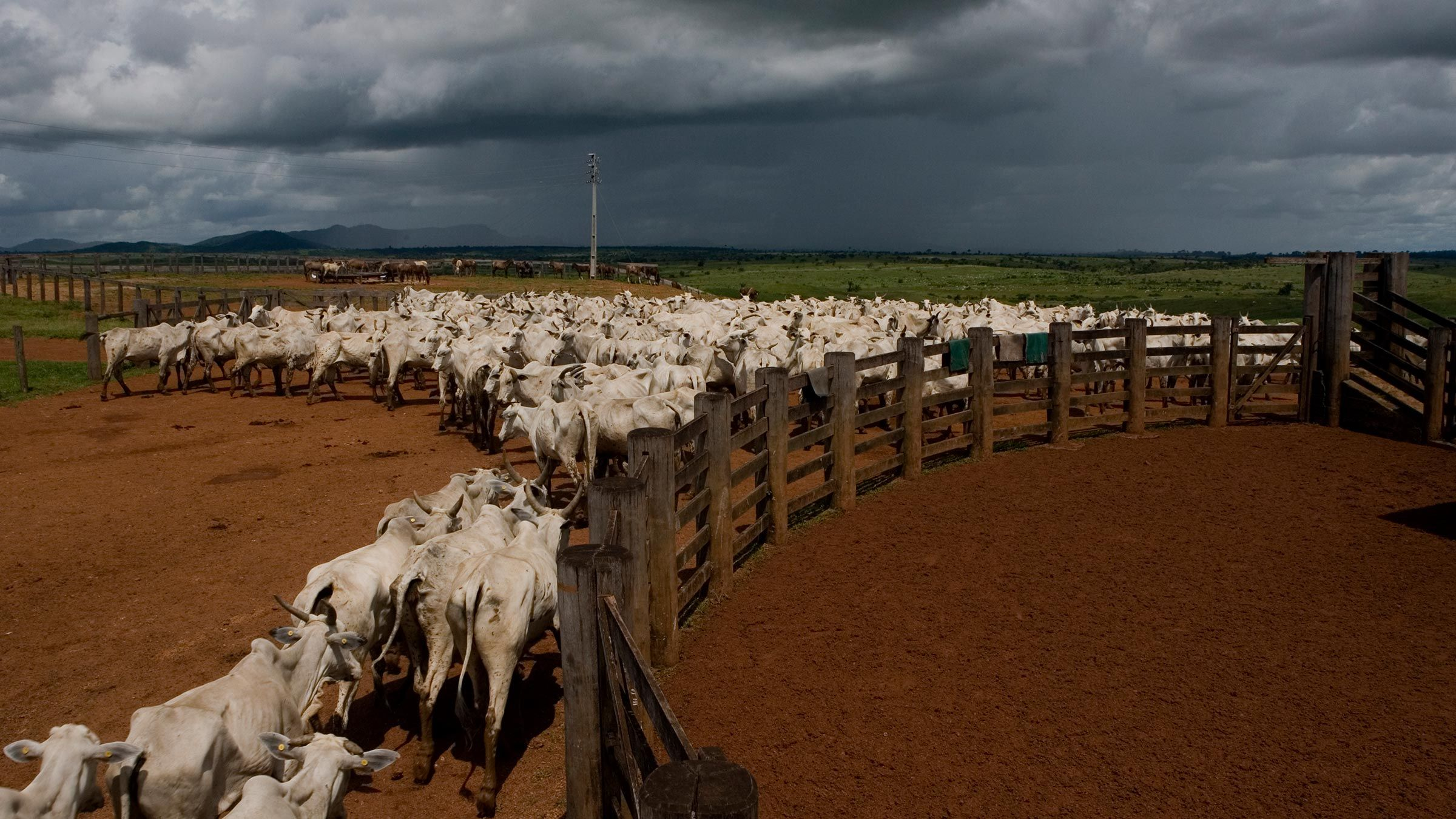 Cattle in the Amazon
