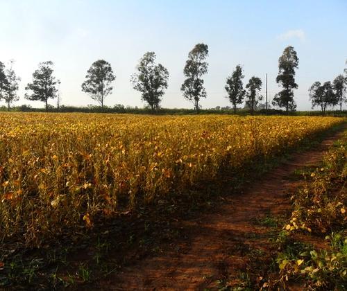 Soy field in Paraguay