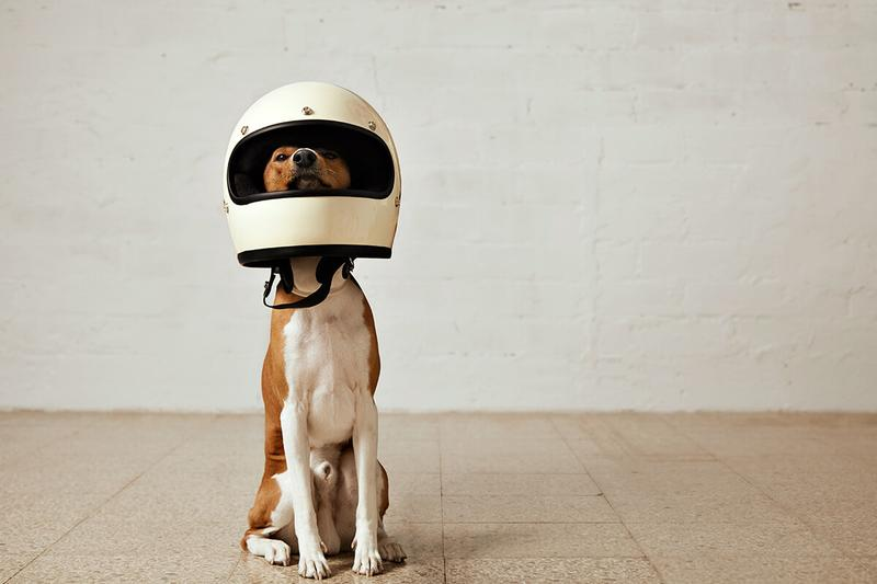 dog with a protective helmet
