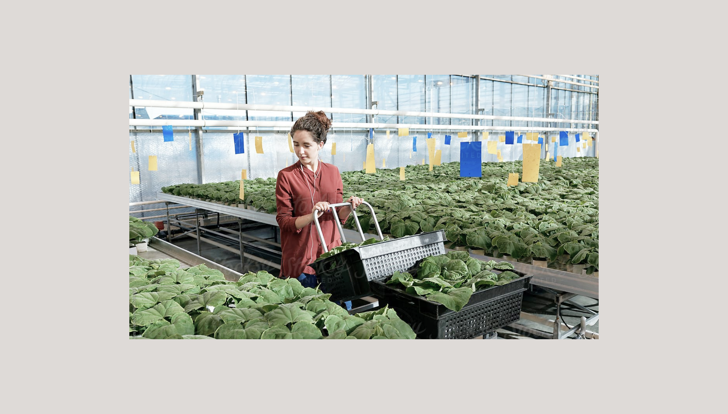 A woman picking fresh produce in a greenhouse