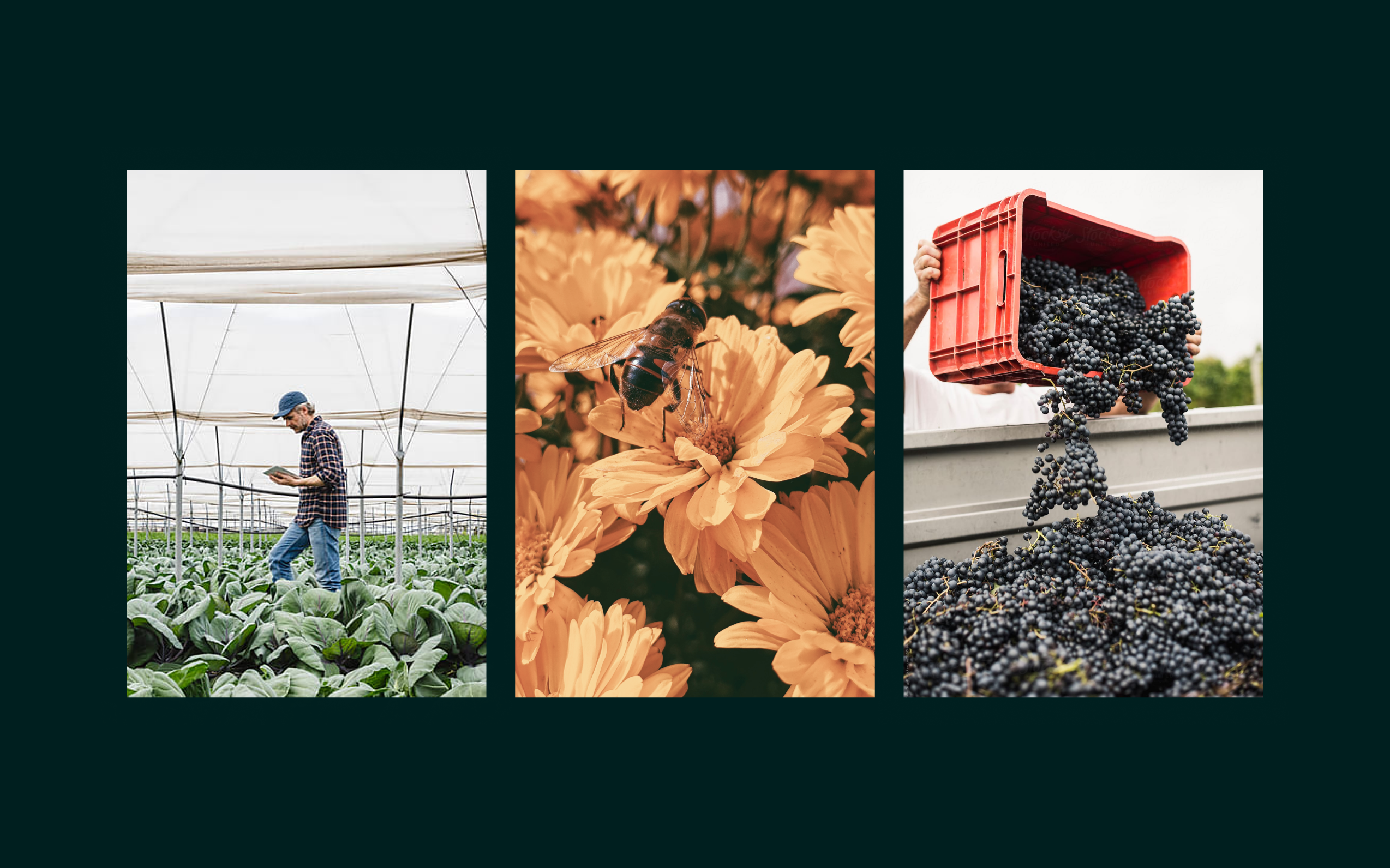 Three images showing a man in a greenhouse, a bee on a yellow flower and fresh plums