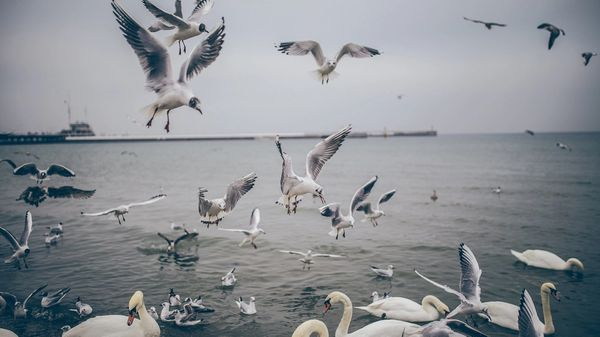 Seagulls and swans