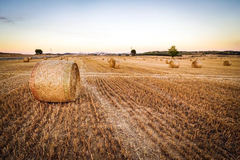 Haystacks on a field
