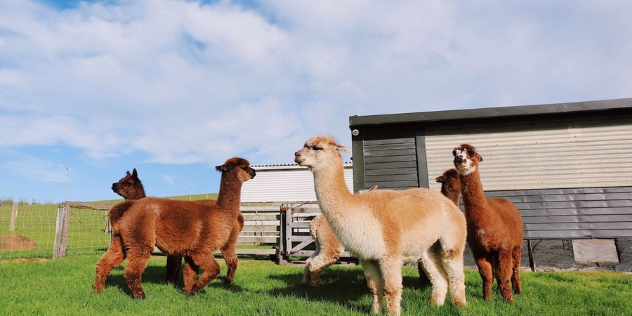 How to sell alpaca