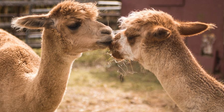 What should you consider when buying alpaca for the first time?