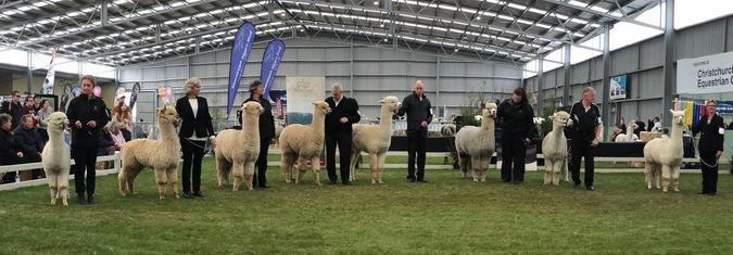 Alpaca wait in line to be judged at an alpaca show