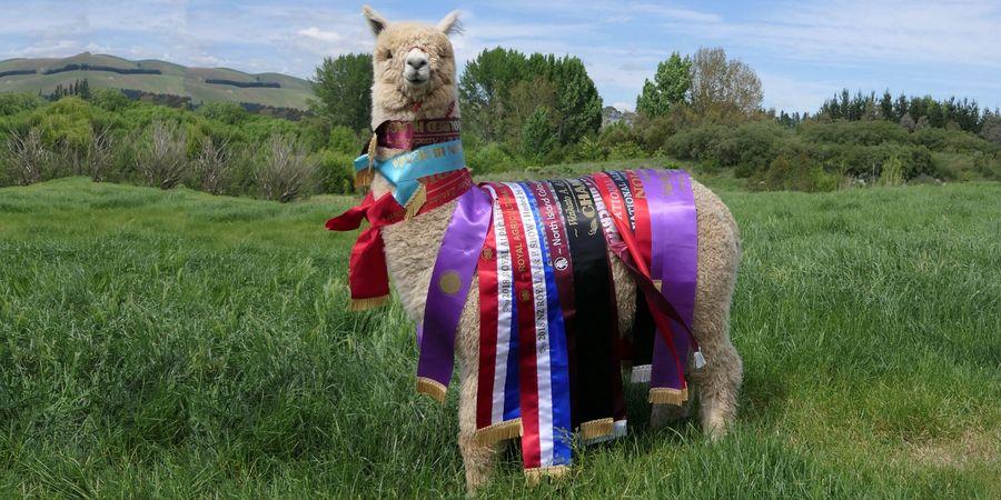 Alpaca show and alpaca judging