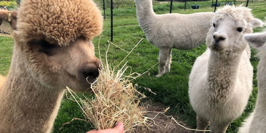 Alpaca love to nibble trees and plants, but many plants and trees are poisonous to them. We list some of the known ones to avoid.