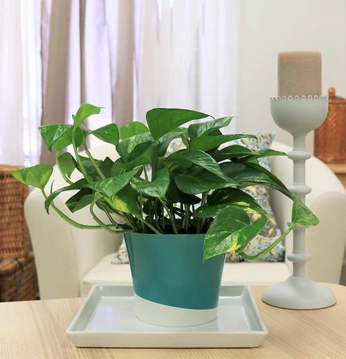 Pothos plant in a pot.