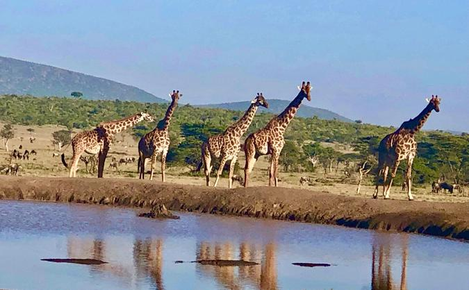 Giraffes at the watering hole