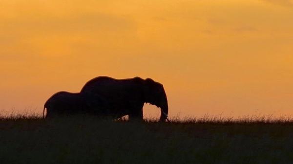 Elephant during sunset