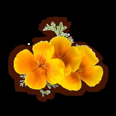 fiori di escolzia