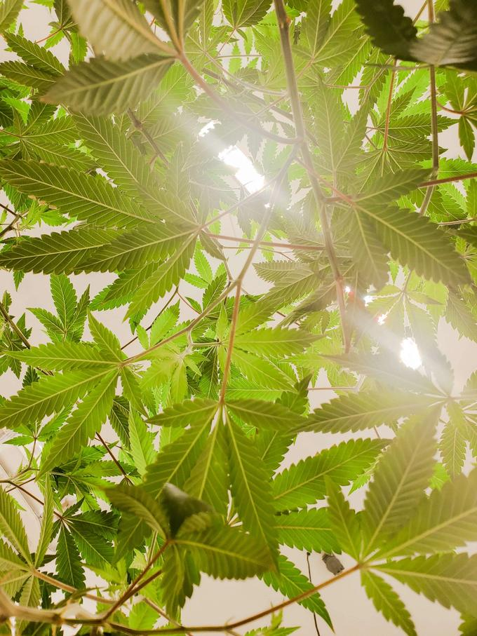 Sungrown Cannabis