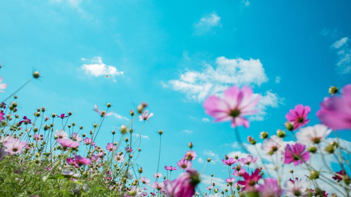 Rosa blomster i eng som spirer mot blå himmel. Illustrasjonsbilde tatt av Chi Liu fra Unsplash