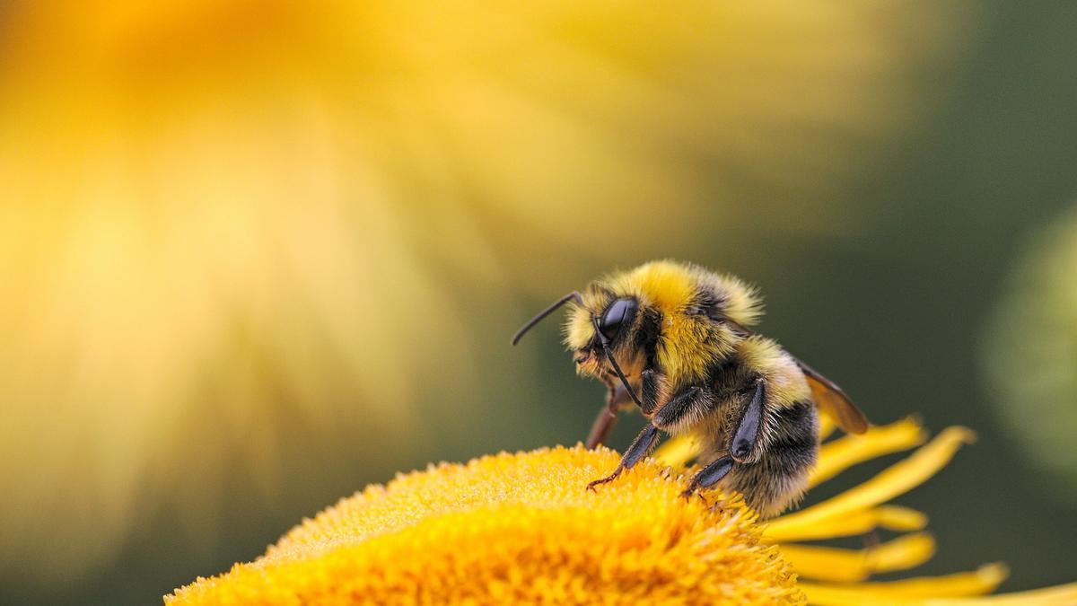 Illustrasjonsbilde av en bie på en gul blomst tatt av Dmitry Grigoriev fra Unsplash