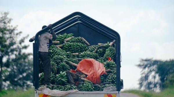 En lasteplanet på en lastebil med grønne bananer og to personer som kjører på en vei med grønn skog rundt. Illustrasjonsbilde fra Unsplash