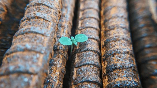 En grønn spire som vokser opp blant smijern.
