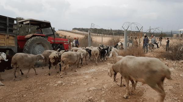 Bilder av kyr, pigg gjerder og en rød traktor. Bilde tatt av Aurora i Palestina.