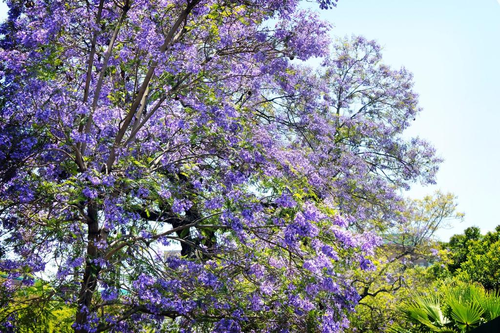 Tree with violet flowers