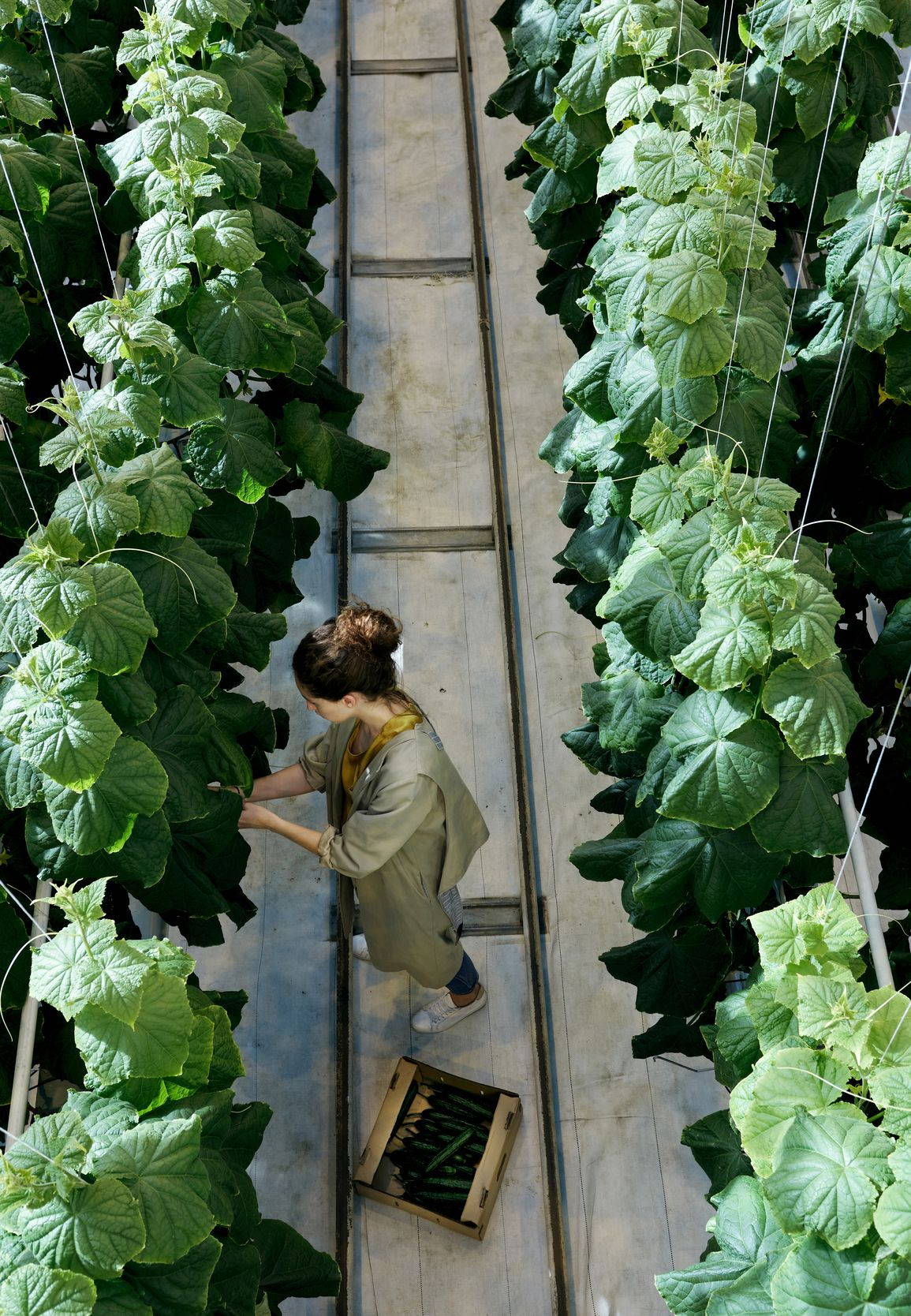 An overhead image of a woman checking fresh produce in a greenhouse